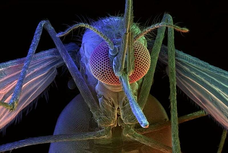 The Risk Of GMO Mosquitos, Animals And Humans